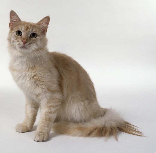 bengal kittens chicago
