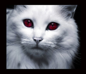 with crimson red eyes  White Cats With Red Eyes